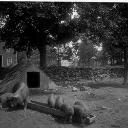 11 Pigs at Teator Farm-1.jpg