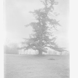 13 Pine Tree Annandale or Rokeby-1.jpg