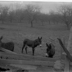 14 Donkeys R Dudley Kerley-1.jpg