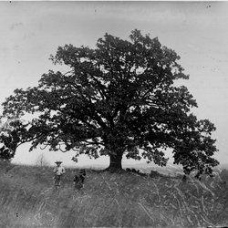 16 Oak tree-1.jpg