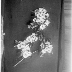 21 Apple Blossom-1.jpg