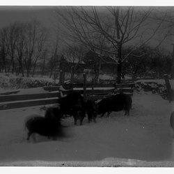 21 Berkshire Pigs-1.jpg