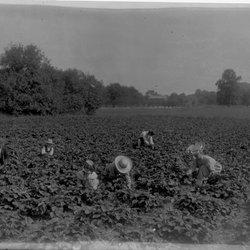 22 Melon Picking-1.jpg