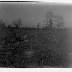 2 Corn Fields of WST-1.jpg