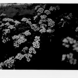 5 Apple Trees in Blossom-1.jpg