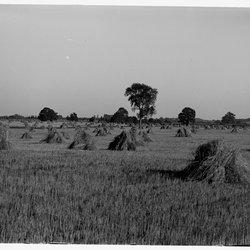6 Elting's Rye Fields Grain in Shock-1.jpg
